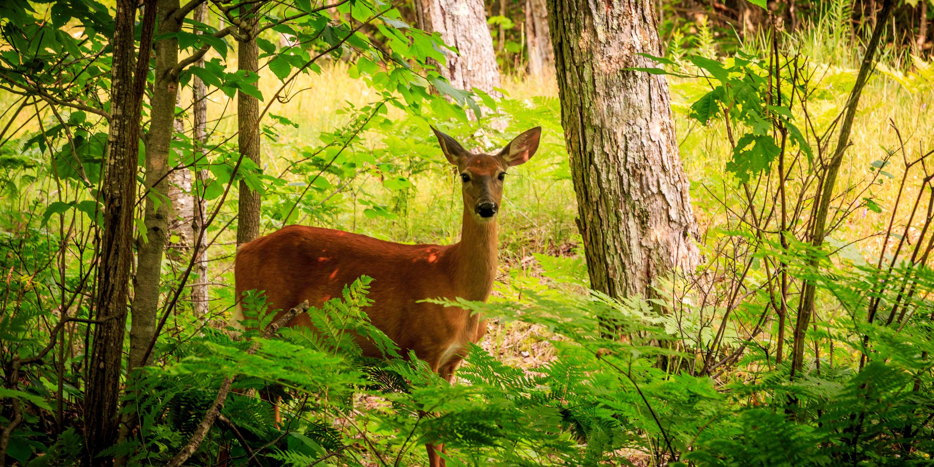 Hirsche im Wald von Rambouillet, Heimat von Rambol